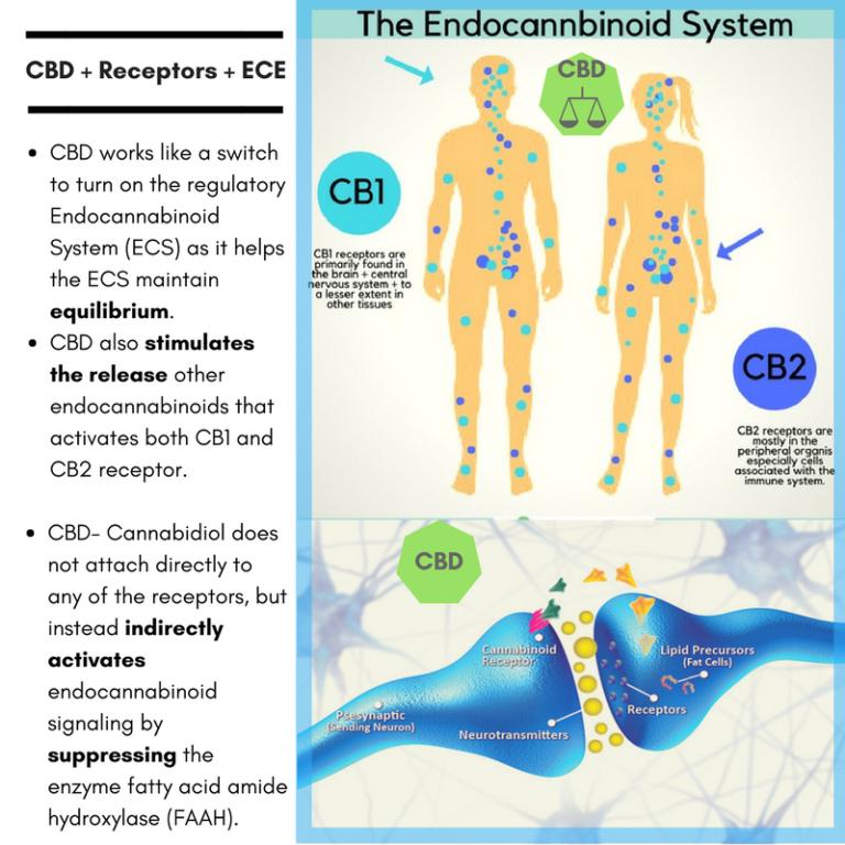 CBD-Receptors