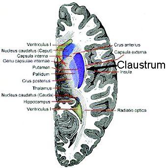 claustrum-brain