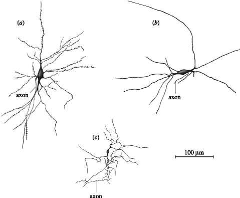claustrum-neurons